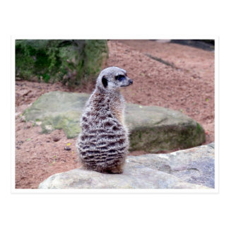 parte posterior del meerkat tarjeta postal