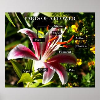 Partes de una flor póster