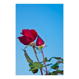 Partial Bloom and Bud Rose Poster
