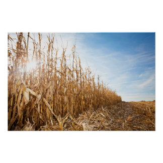 Partly Harvested Corn Field Poster