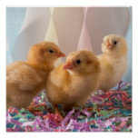 Party Chicks Yellow Baby Chickens Streamers Posters