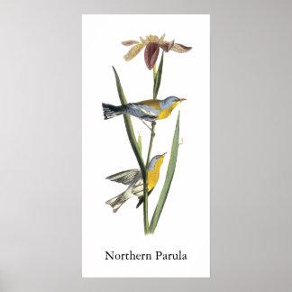 Parula septentrional, Juan Audubon Póster