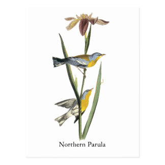 Parula septentrional, Juan Audubon Tarjeta Postal