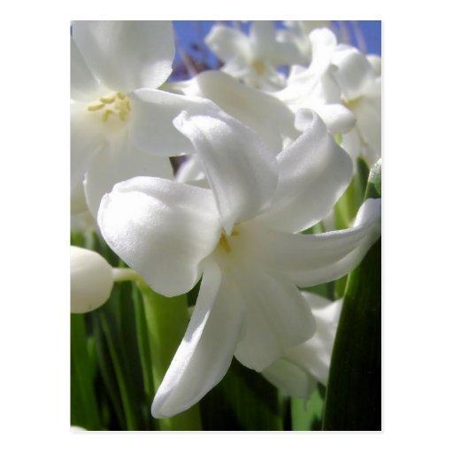 Pascua blanca Lilly Postal