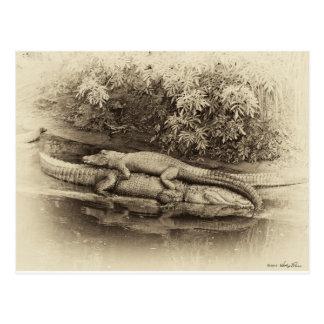 Paseo de la parte posterior del cocodrilo tarjetas postales