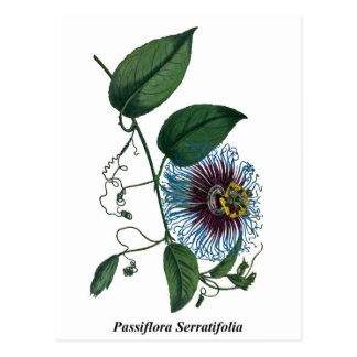 Pasionaria Serratifolia Postales