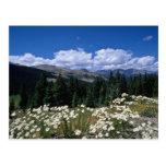 paso blanco del Boreas, flores de Breckenridge Tarjetas Postales