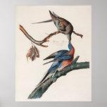 Passenger Pigeon (1838) John J. Audubon Poster