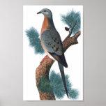 Passenger Pigeon - Ectopistes migratorius P/folio Posters