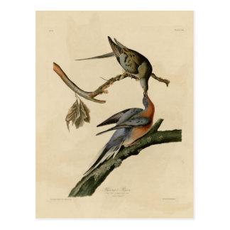 Passenger Pigeon Post Cards