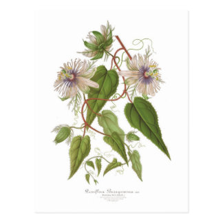 Passiflora baraquimima postcard