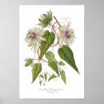 Passiflora baraquimima poster