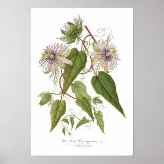 Passiflora baraquimima print
