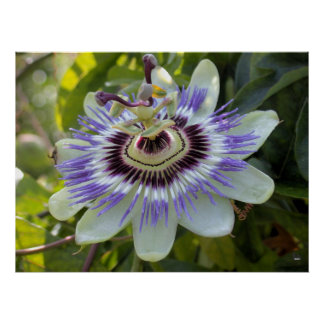 Passiflora edulis forma flavicarpa (Passion Flower Print