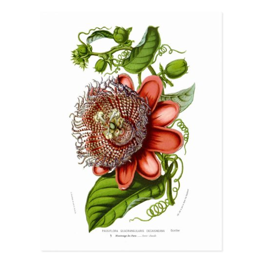Passiflora quadrangularis decaisneana postcard