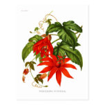 Passiflora vitifolia postcard