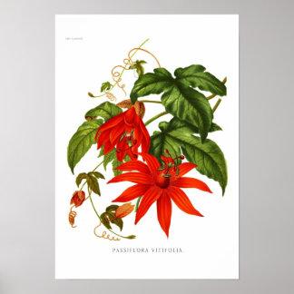 Passiflora vitifolia poster