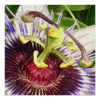Passion Flower Macro Poster