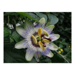 Passion Flower Macro Print print