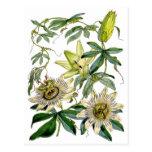 Passion Flowers Botanical Illustration Postcards
