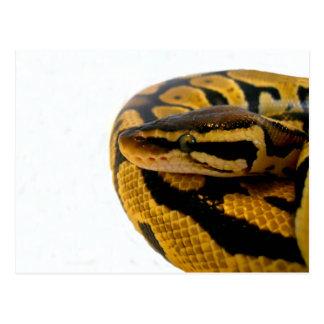 Pastel Ball Python Postcard