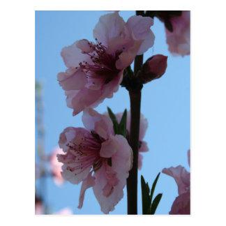 Pastel Pink of Peach Tree Blossom Postcard