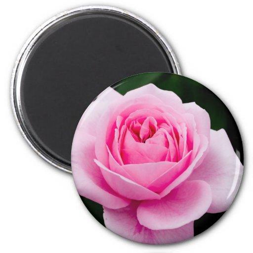 Pastel Pink Rose Magnet Fridge Magnets