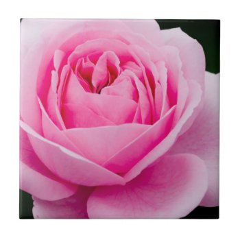 Pastel Pink Rose Tile by PerennialGardens at Zazzle