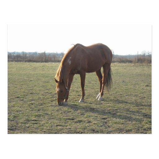 Pasto de caballos de la castaña del rancho postales