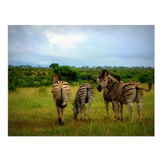 Pasto de cebras africanas postal