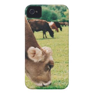 Pasto de la vaca del jersey iPhone 4 protectores