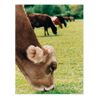 Pasto de la vaca del jersey postal