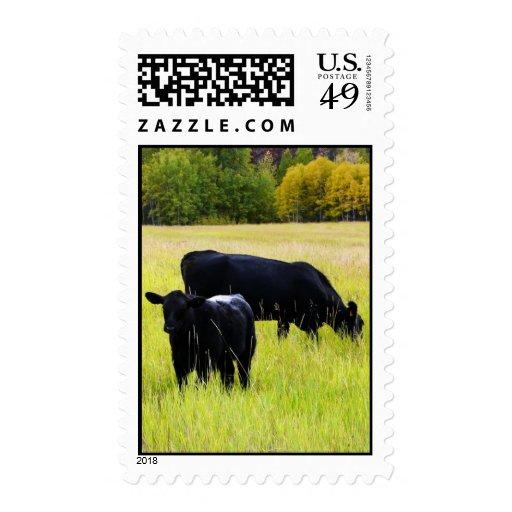 Pasto del ganado negro de Angus en campo de granja Sello