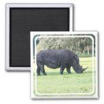 Pasto del imán del rinoceronte