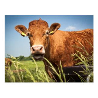 Pasto del primer de la vaca postal