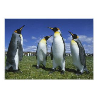 Patagonicus de rey pingüino, del Aptenodytes), Fotografía