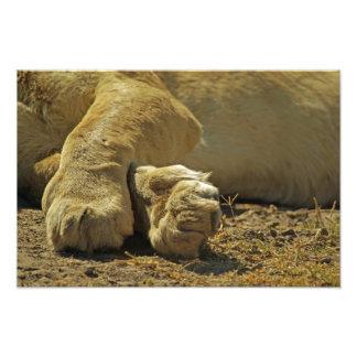 Patas del león cojinete