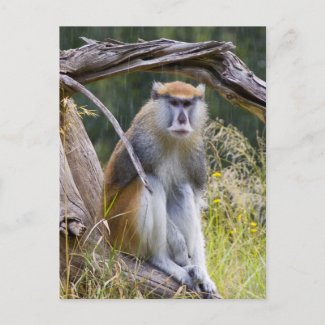 Patas Monkey Post Card