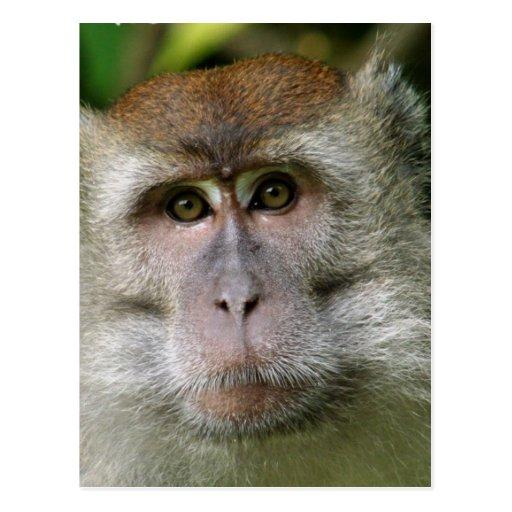 Patas Monkey Postcard