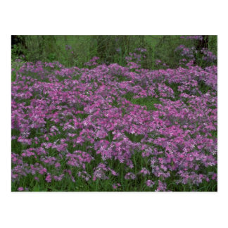 Patch of wild vorbenia in East Texas Postcard