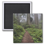 Path through the giant redwood trees shrouded 2 2 inch square magnet