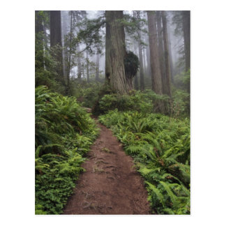 Path through the giant redwood trees shrouded 2 postcard