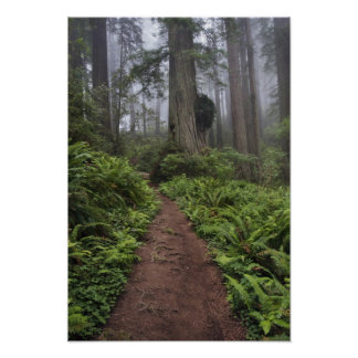 Path through the giant redwood trees shrouded 2 poster