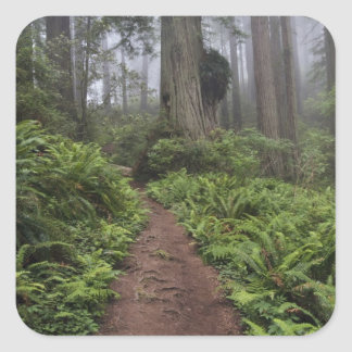 Path through the giant redwood trees shrouded 2 square sticker