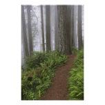 Path through the giant redwood trees shrouded photo print
