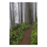 Path through the giant redwood trees shrouded photographic print