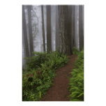 Path through the giant redwood trees shrouded print