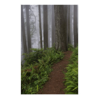 Path through the giant redwood trees shrouded poster