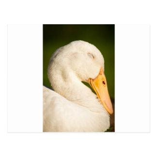 Pato blanco el dormir tarjetas postales