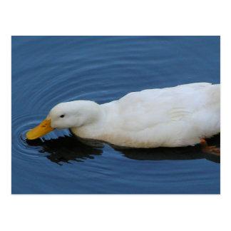 Pato blanco tarjetas postales